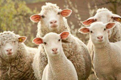 大批羊毛已经上路,欢迎来褥!